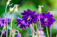Aquilegia Barlow Blue 10 Seeds (Columbine) Lovable classic in velvety blue viole